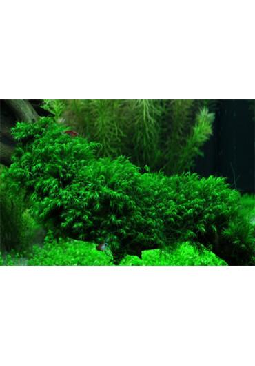 Fissidens fontanus - Tropica dobozos