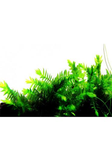 Fontinalis antipyretica - Tropica steril