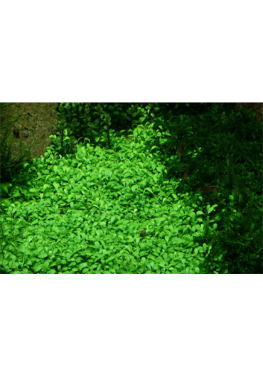 Glossostigma elatinoides - Tropica steril