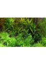 Gratiola viscidula - Tropica steril