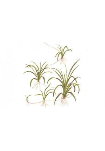 Helanthium tenellum 'Green' - Tropica steril