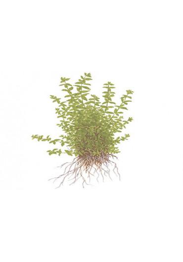 Hemianthus micranthemoides - Tropica