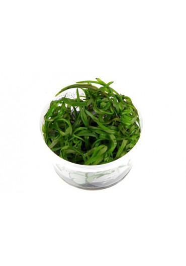 Heteranthera zosterifolia - Tropica steril