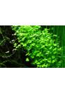 Hydrocotyle tripartita - Tropica steril