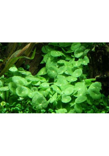 Hydrocotyle verticillata - Tropica