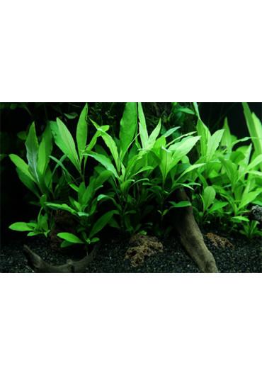 Hygrophila 'Siamensis 53B' - Tropica steril