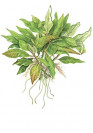 Hygrophila 'Compact' - Tropica