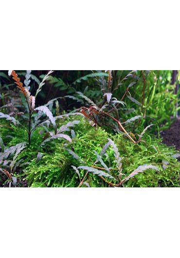 Fadekor Hygrophila pinnatifida - Tropica