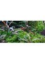 Hygrophila pinnatifida -Tropica steril