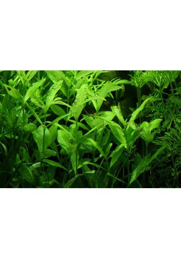 Hygrophila polysperma - AquaLine TF