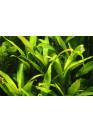 XL Hygrophila 'Siamensis' - Tropica
