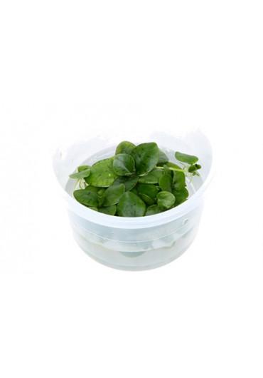 Limnobium laevigatum - Tropica steril