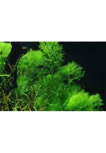 Limnophila aquatica - Tropica
