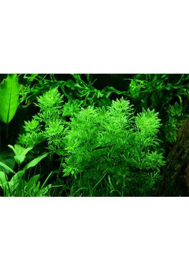Limnophila sessiliflora - Tropica