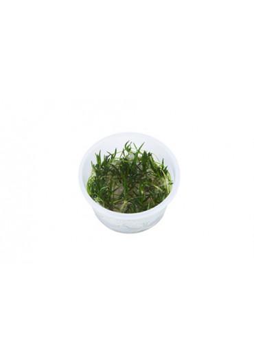Littorella uniflora - Tropica steril