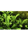 Lobelia cardinalis - AquaLine TF
