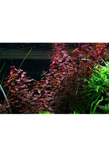 Ludwigia palustris - Tropica steril