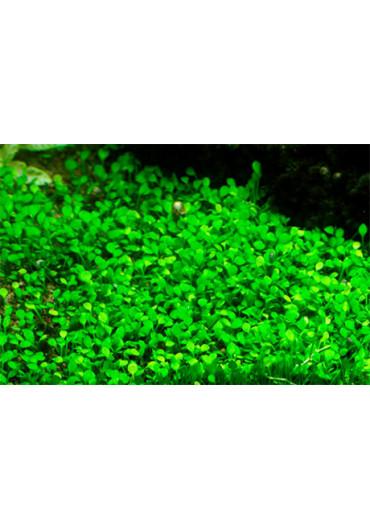Marsilea crenata - Tropica steril