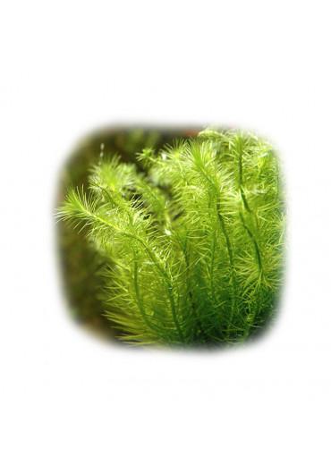 Mayaca fluviatillis - Tropica