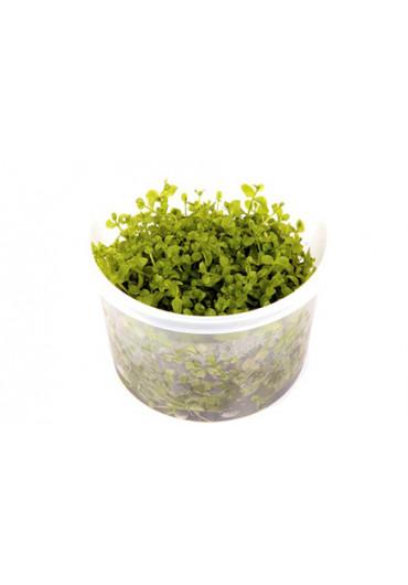 Micranthemum 'Monte Carlo' - Tropica steril