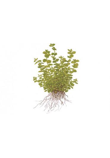Micranthemum umbrosum - Tropica
