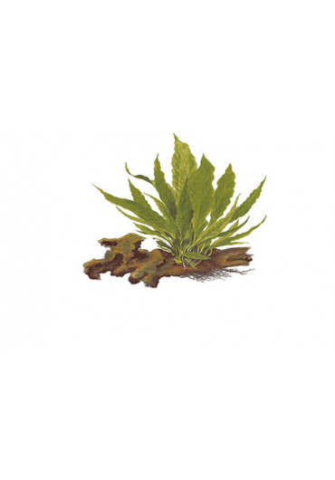 Kődekor Microsorum pteropus - Tropica
