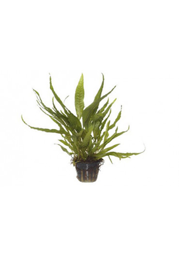 Microsorum pteropus - Tropica