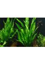Fadekor Microsorum pteropus - Tropica