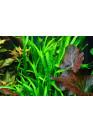 Fadekor Microsorum pteropus 'Narrow' - Tropica