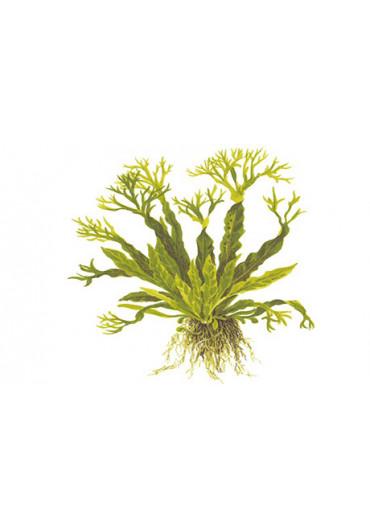 Fadekor Microsorum pteropus 'Windeløv' - Tropica