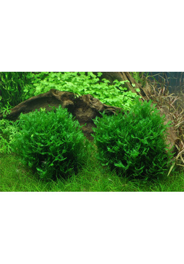Monosolenium tenerum - Tropica steril