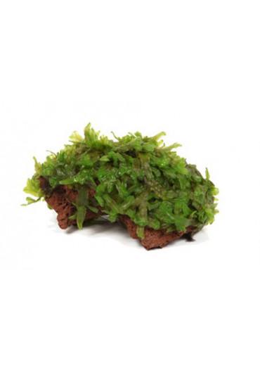 Kődekor Monosolenium tenerum - Tropica