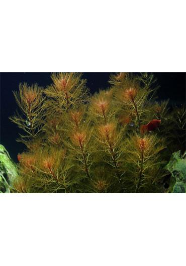 Myriophyllum tuberculatum - Tropica