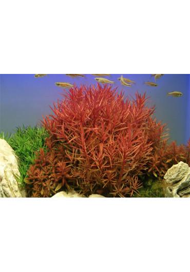 Nesaea crassicaulis - Tropica