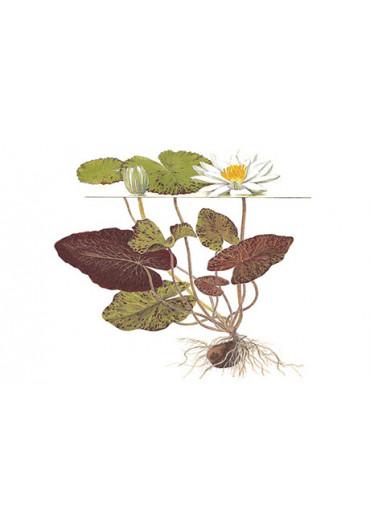 Nymphaea lotus - Tropica