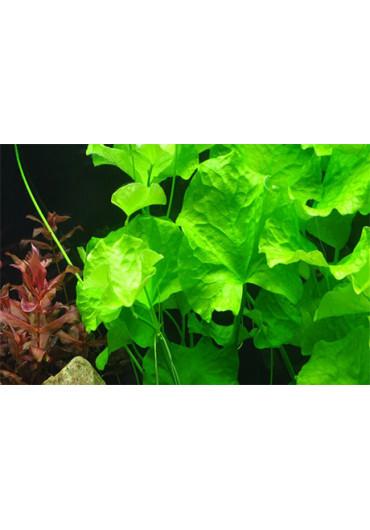 Nymphoides hydrophylla 'Taiwan' - Tropica