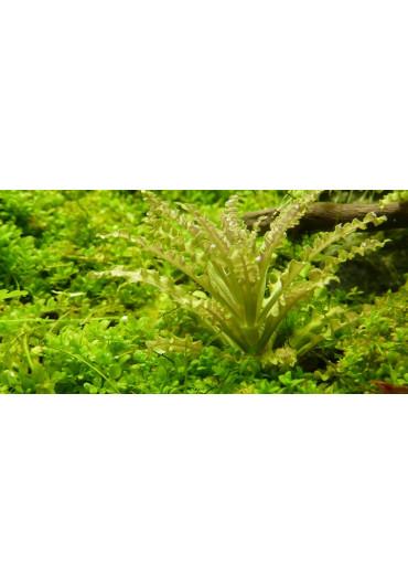 Pogostemon helferi - Tropica steril