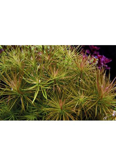 Pogostemon stellata - Tropica