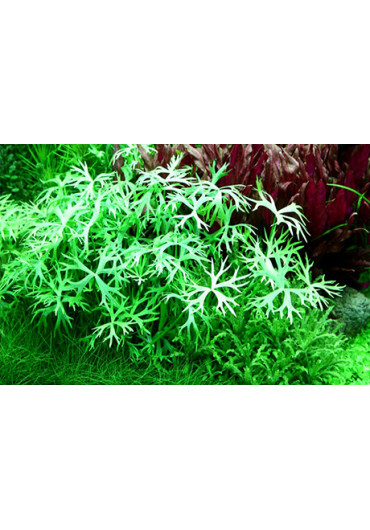 Ranunculus inundatus - Tropica steril