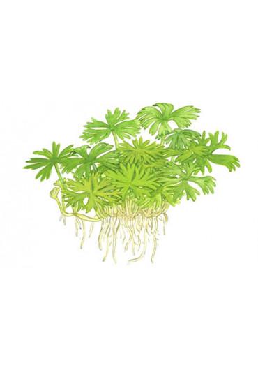 Ranunculus inundatus - Tropica