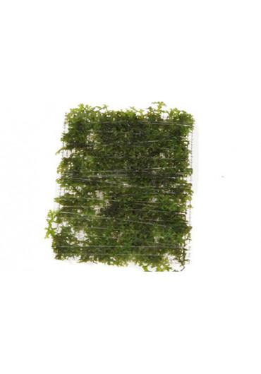 Riccardia chamedryfolia - Tropica dobozos