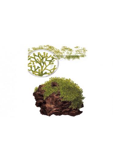 Riccia fluitans - Tropica steril