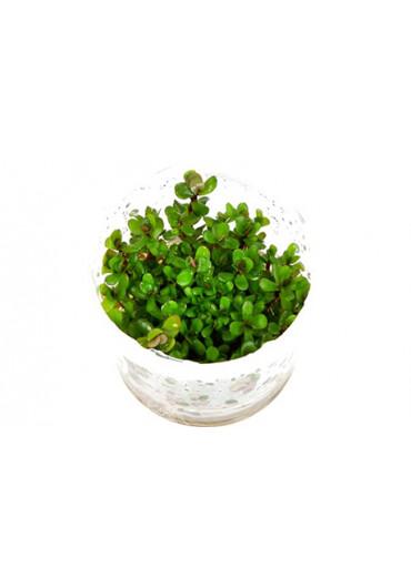 Rotala 'Bonsai' - Tropica steril