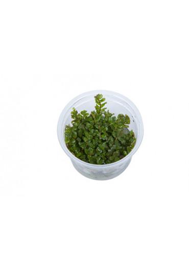Rotala rotundifolia - Tropica steril