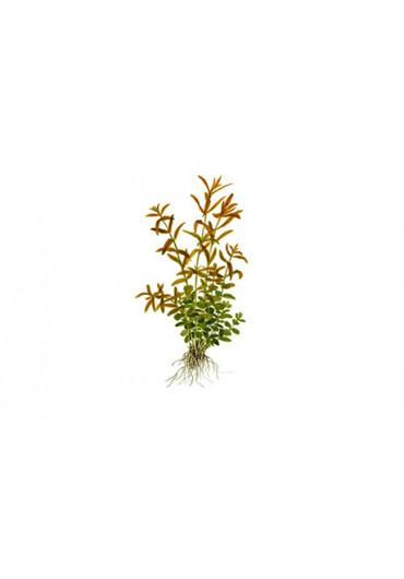 Rotala rotundifolia - Tropica