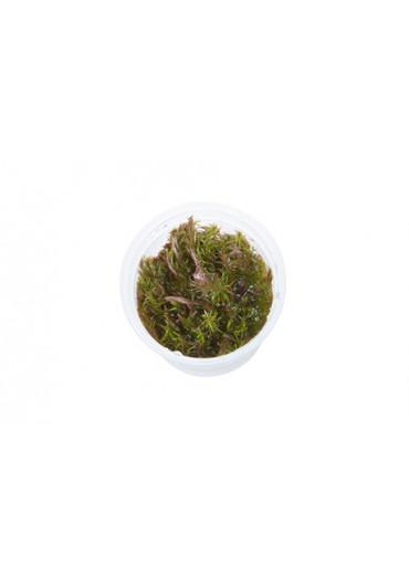 Rotala wallichi - Tropica steril