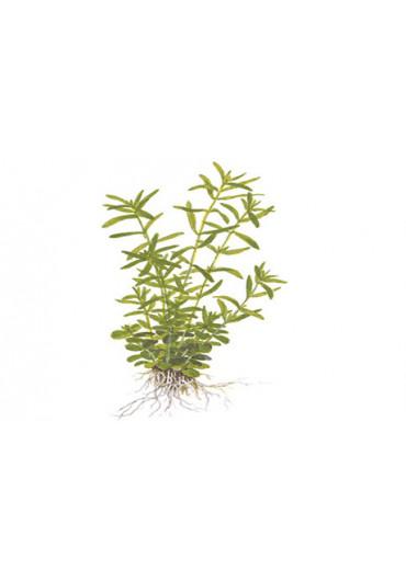 Rotala 'Green' - Tropica