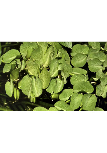 Salvinia natans - Tropica steril