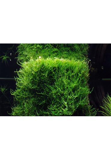 Taxiphyllum barbieri - Tropica steril