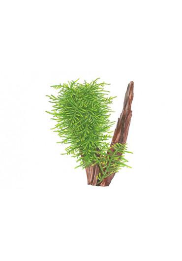 Taxiphyllum 'Spiky' - Tropica dobozos